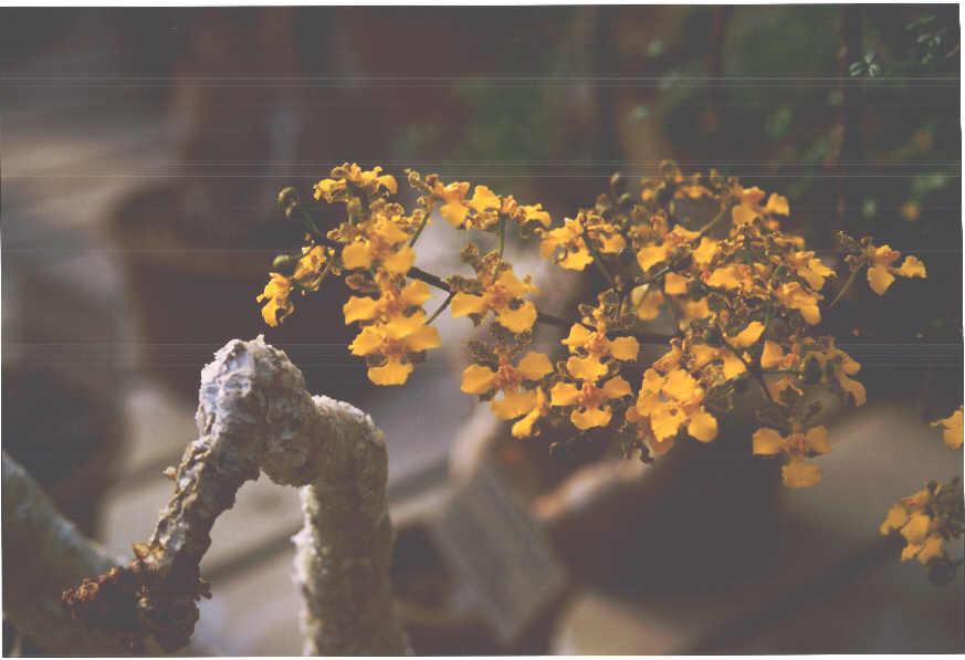 orchidhuntington.jpg