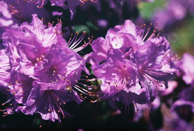 rhododendronflowers.jpg
